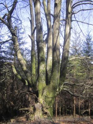 Árbol centenario Monte Gorbea