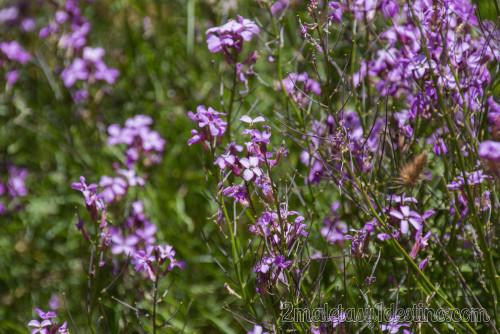 Flor del Brezo