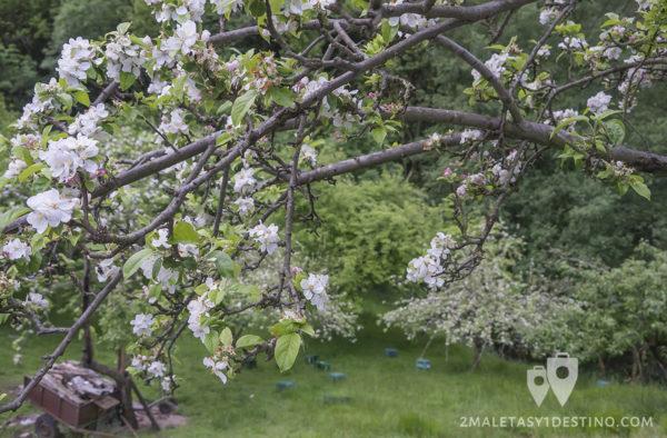 Sidra Panizales - Manzano con flores