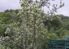 Sidra Panizales - Manzano en flor y cajas de sidra